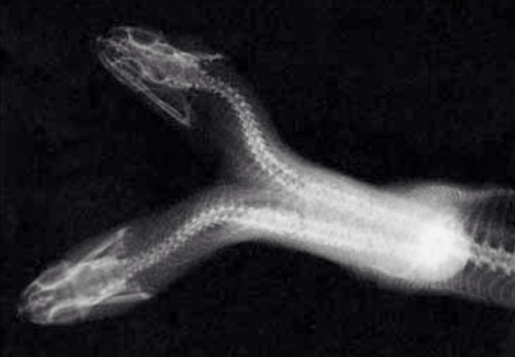 Two headed snake X-ray