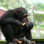 Chimpanzee subspecies