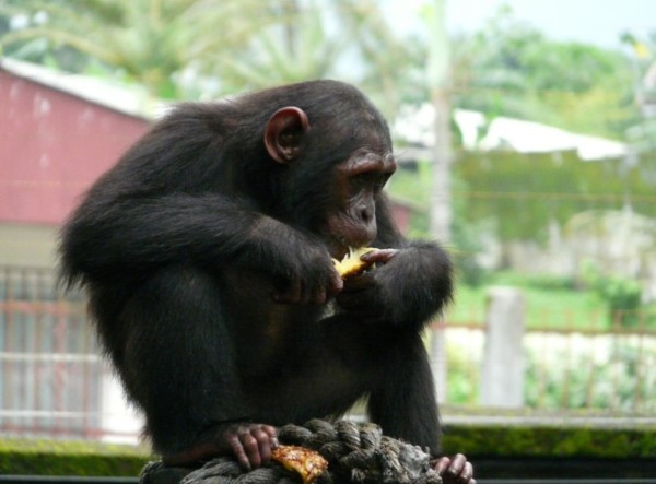 Chimpanzee subspecies