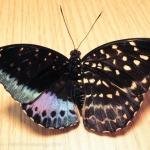 Rare butterfly half-female half-male