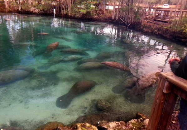 Manatees three sisters springs