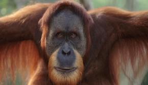 Orangutan wwf