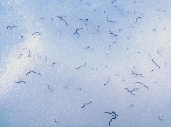 Ice worms mass