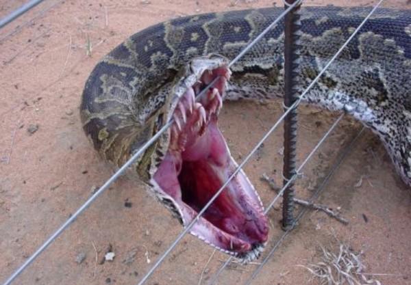 Snake on fence dead
