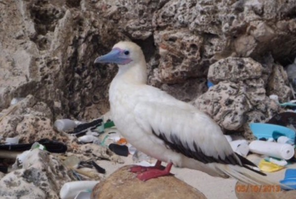 Nearly 60% Of All Seabirds Have Plastic In Their Guts, Research Finds