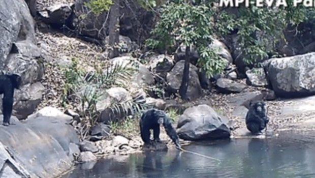Algae fishing with stick chimpanzees